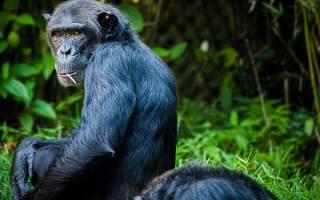 К чему снится обезьяна большая сонник