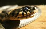 К чему снится что укусила змея сонник