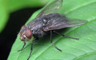 Рой мух во сне к чему снятся сонник