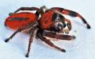 К чему снится красный паук сонник