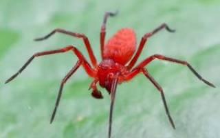К чему снится большой красный паук сонник