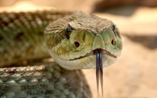 К чему снится змея мужчине нападает сонник