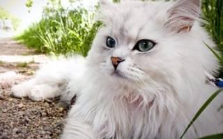 К чему снится белый кот женщине сонник