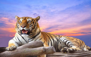 Видеть во сне тигра сонник