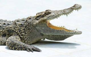 Сонник к чему снятся крокодилы