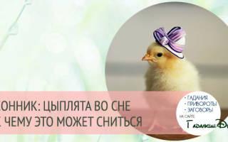 Сонник цыплята маленькие много
