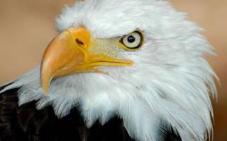 К чему снится большой орел сонник