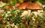 К чему снится много грибов в лесу сонник