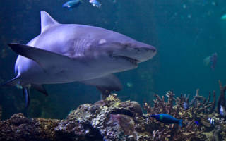 Акула сонник толкование сна