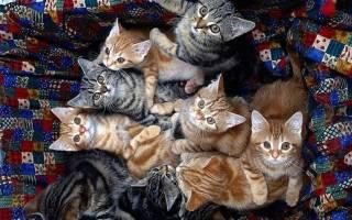 Сонник кошки много