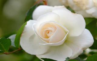 Белые розы во сне сонник