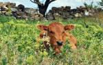 К чему снится теленок маленький сонник