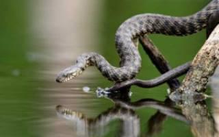 Сонник змея в воде плавает