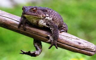 Сонник жаба большая