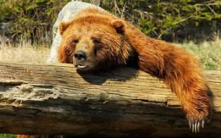 К чему снится живой медведь сонник