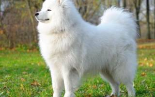 К чему снится белая собака ласкается сонник