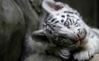 Белый тигр во сне сонник
