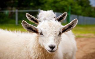 Видеть во сне козу сонник