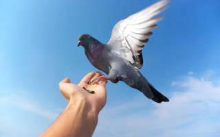 Видеть во сне белых голубей сонник