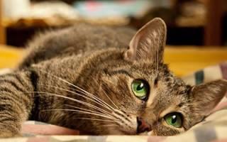 К чему снится кот в крови сонник